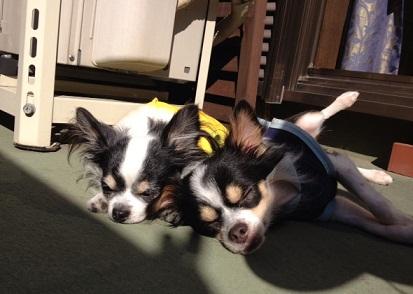 日向ぼっこ中の保護犬