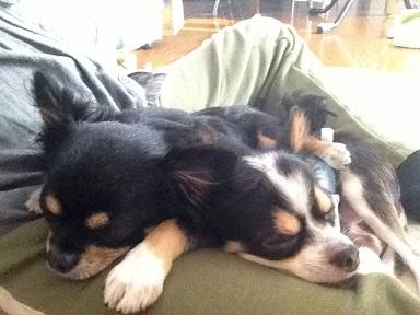 ロングコートチワワ 保護犬