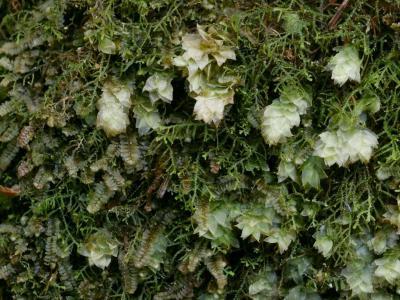 多湿な土崖の蘚苔類