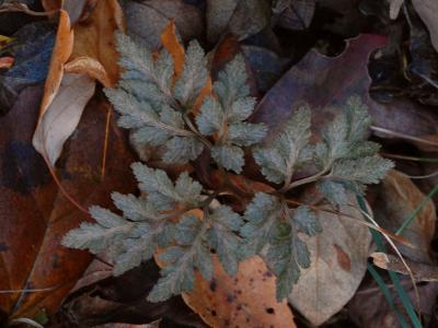 アカハナワラビの紅変した葉