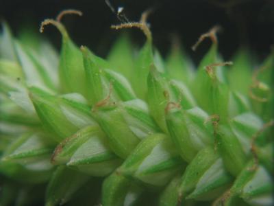 アズマナルコ雌小穂の拡大