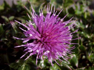ハマアザミの花