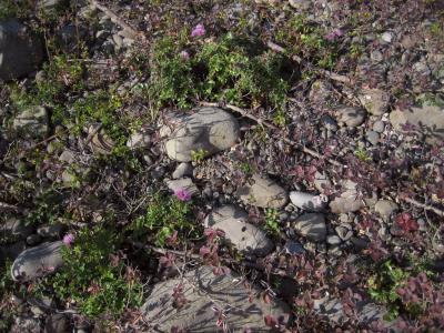 ハマゴウ群落中のハマアザミ