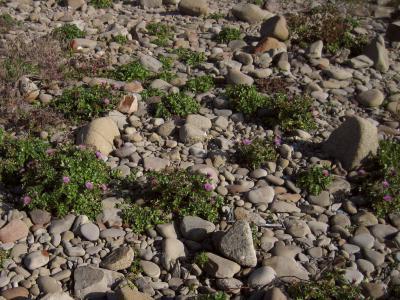岩礫地のハマアザミ
