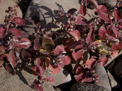 紅葉したハマゴウ