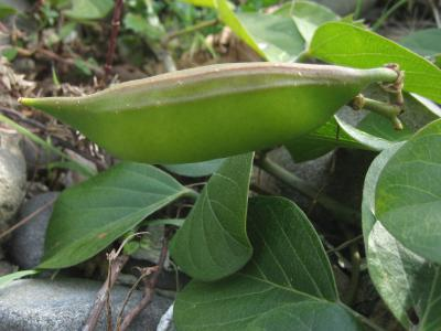 ハマナタマメの果実