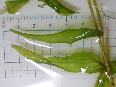ヒロハノエビモの葉