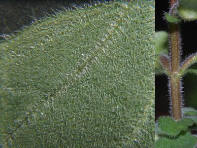 ホクリクタツナミソウの葉裏と茎の毛