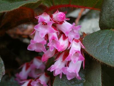 イワナシの花