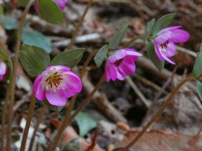 ケスハマソウの花