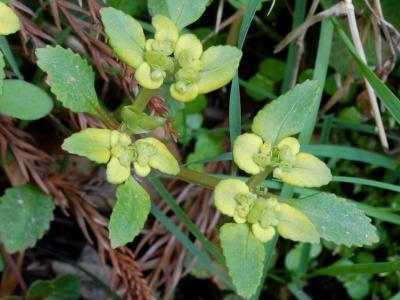 キンシベボタンネコノメソウの花