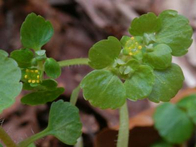 マルバネコノメソウの花