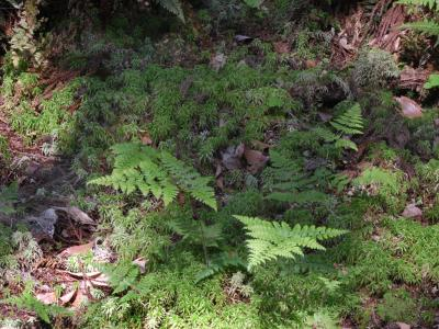 ミズゴケ湿地とコバノイシカグマ