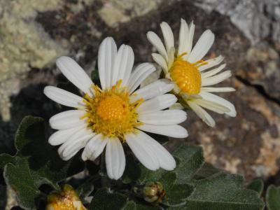 ノジギクの花