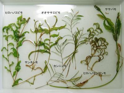 ヒルムシロ科近似種