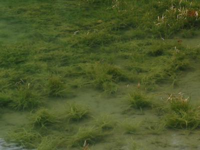 ハタベカンガレイの沈水形