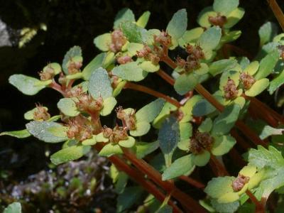 サンインネコノメソウの花