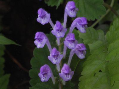 シソバタツナミの花