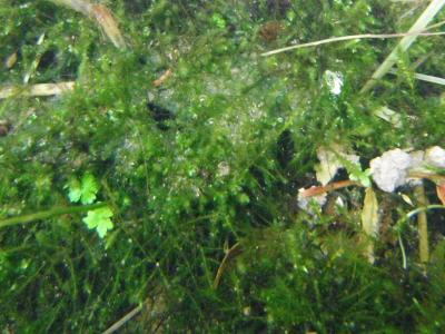 水中内の蘚類 2