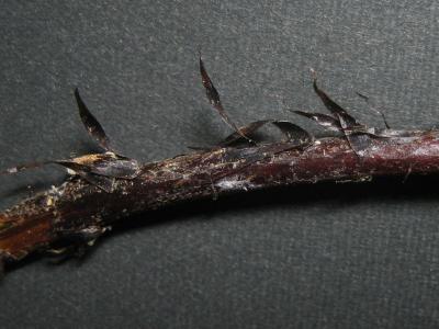 タカサゴシダの鱗片