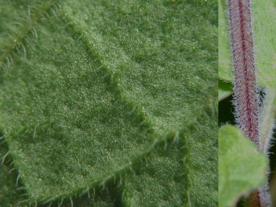 タツナミソウの葉と茎