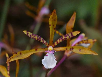 トケンランの花