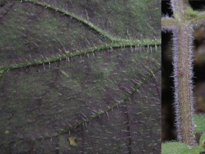 トウゴクシソバタツナミの葉裏と茎の毛