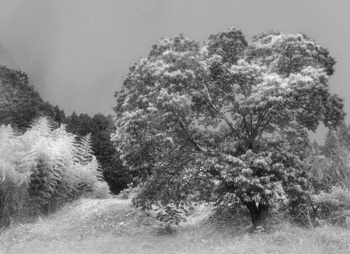 9栗の木(赤外線的jココロ)