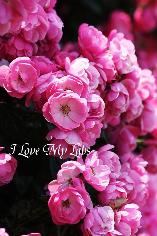 2012IMG_9934バラ祭り