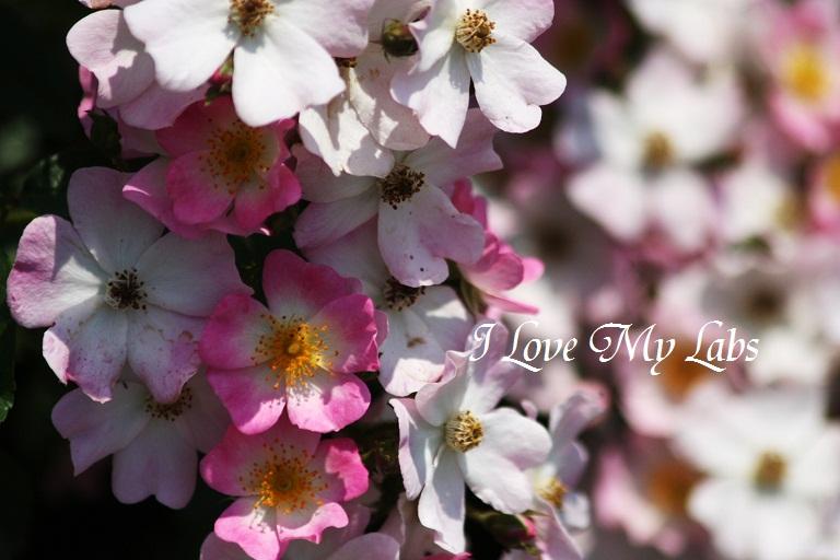 2012IMG_9954バラ祭り