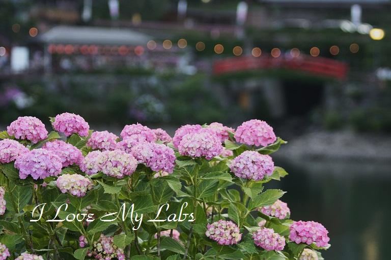 IMG_0159Ajisai 2012