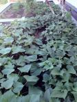 屋上菜園 (2)
