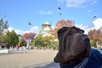 シャーペイ 大阪城 11月2012年 (2)