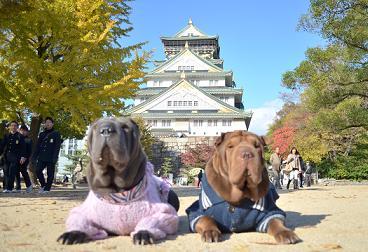 シャーペイ 大阪城 11月2012年 (9)