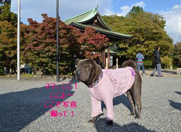 シャーペイ 大阪城 11月2012年 (13)