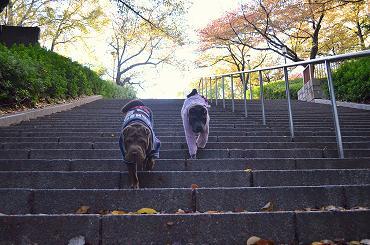 シャーペイ 大阪城 11月2012年 (12)