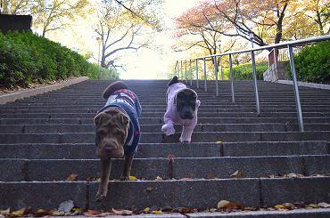 シャーペイ 大阪城 11月2012年 (11)