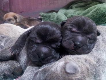 ① 毛色ブラック、左1の女の子、右6の女の子。生後2日目 12月13日2012年