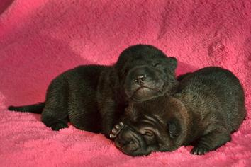 ④ 毛色ブラック、左1の女の子、右6の女の子。生後4日目 12月13日2012年