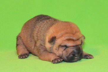 毛色 セーブル 、 7の女の子、 写真は生後9日目、12月20日2012年、 シャーペイ仔犬 (4)