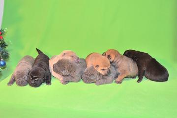 8匹のシャーペイの仔犬、 写真は生後9日目、12月20日2012年、 シャーペイ仔犬 (18)