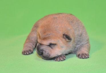 毛色 セーブル 、 2の女の子、 写真は生後9日目、12月20日2012年、 シャーペイ仔犬