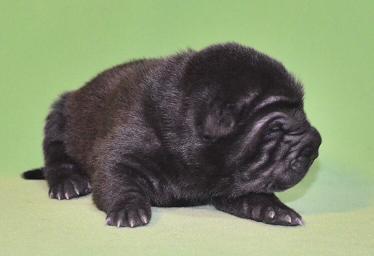 毛色ブラック  、 1の女の子、 写真は生後9日目、12月20日2012年、 シャーペイ仔犬 (12)