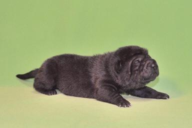 毛色 ブラック、6の女の子、 写真は生後9日目、12月20日2012年、 シャーペイ仔犬 (2)