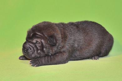 毛色 ブラック、6の女の子、 写真は生後9日目、12月20日2012年、 シャーペイ仔犬 (3)
