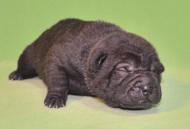 毛色ブラック  、 1の女の子、 写真は生後9日目、12月20日2012年、 シャーペイ仔犬 (11)