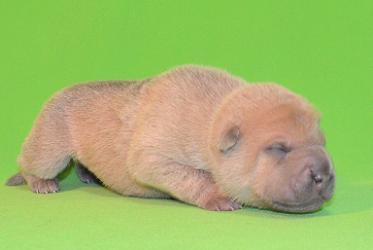 毛色ライラック  、 8の 男の子、 写真は生後9日目、12月20日2012年、 シャーペイ仔犬 、 シャーペイ(6)