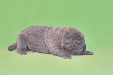 毛色ブルー  、 5の女の子、 写真は生後9日目、12月20日2012年、 シャーペイ仔犬