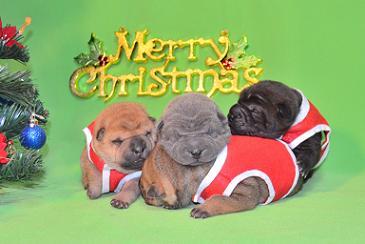 2・3・7・6   4匹のシャーペイの仔犬、 写真は生後9日目、12月20日2012年、 シャーペイ仔犬 (26)