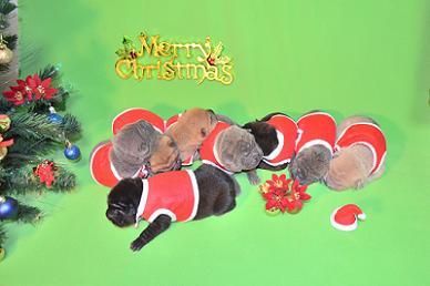 8匹のシャーペイの仔犬、 写真は生後9日目、12月20日2012年、 シャーペイ仔犬 (23)